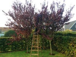 Træ med stige i have